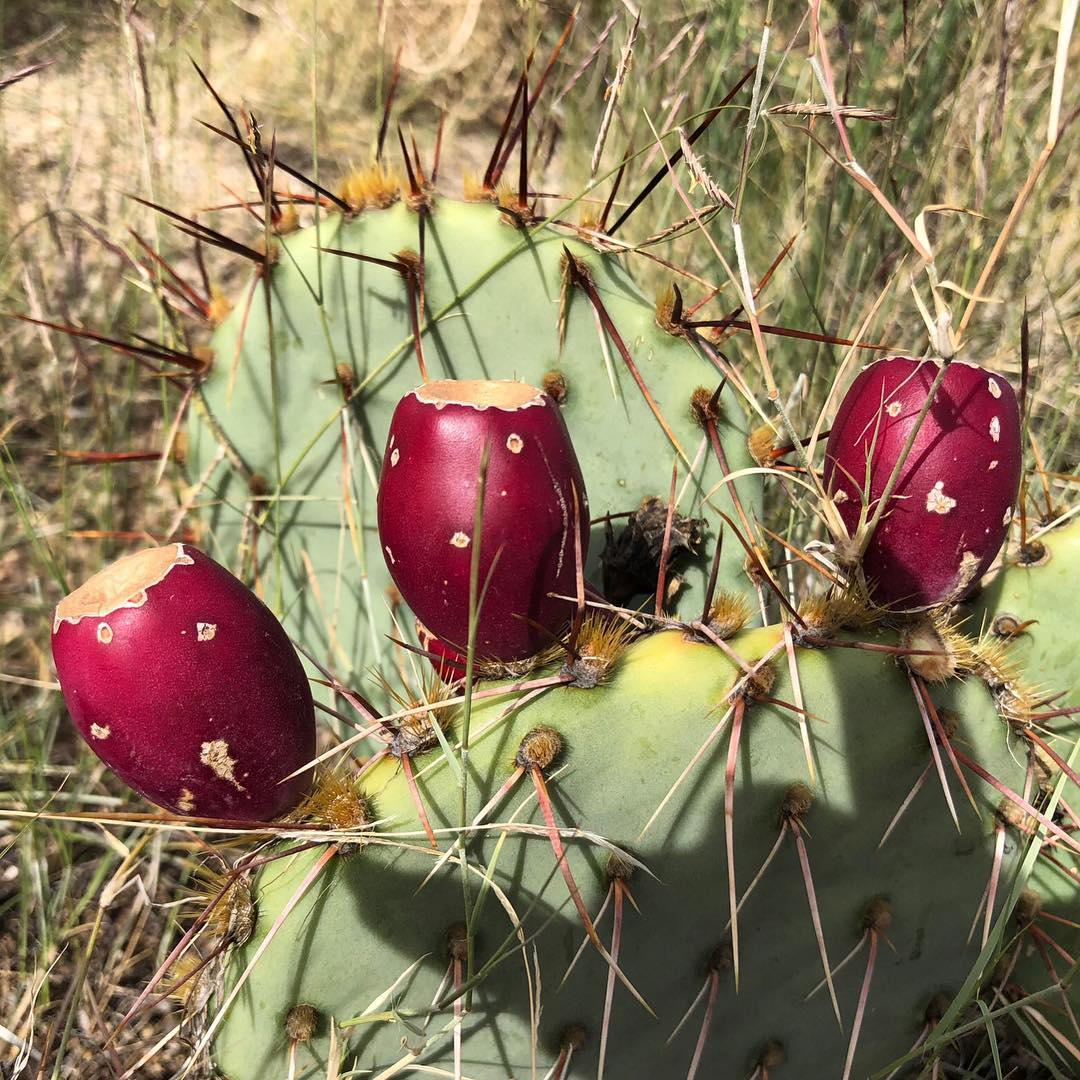 Prickly Pear Beer Release